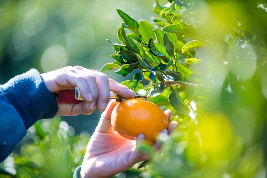 津和地では、みかんも栽培しています