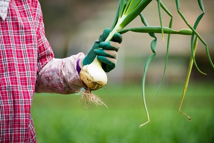 新玉ねぎの収穫はすべて手作業です
