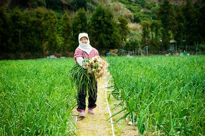 新玉ねぎの収穫風景