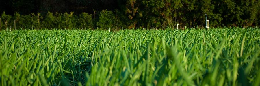 津和地の玉ねぎ畑